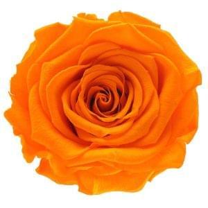 rose amor buy online, forever roses buy online,