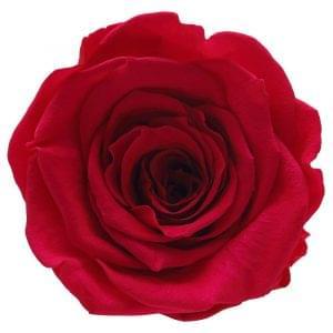 Rose amore ecuador buy online
